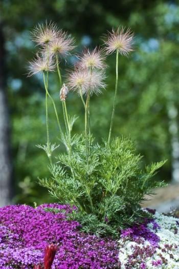 Backsippa, Pulsatilla vulgaris, är med sina säregna fröställningar en iögonfallande vacker växt även när den ljuvliga blomningen tagit slut fram på försommaren. Den blir ungefär tjugo centimeter hög och blommar med stora klockor i lila, vita, gula eller röda nyanser.