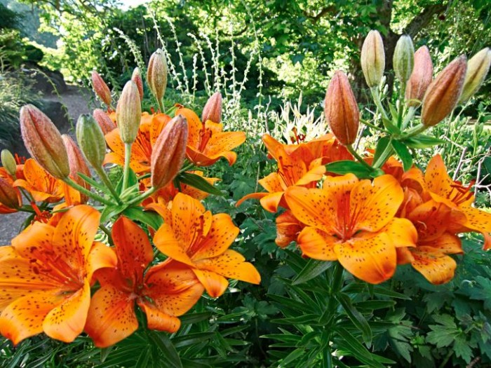 Orange: saffranslilja, Lilium bulbiferum var. croceum