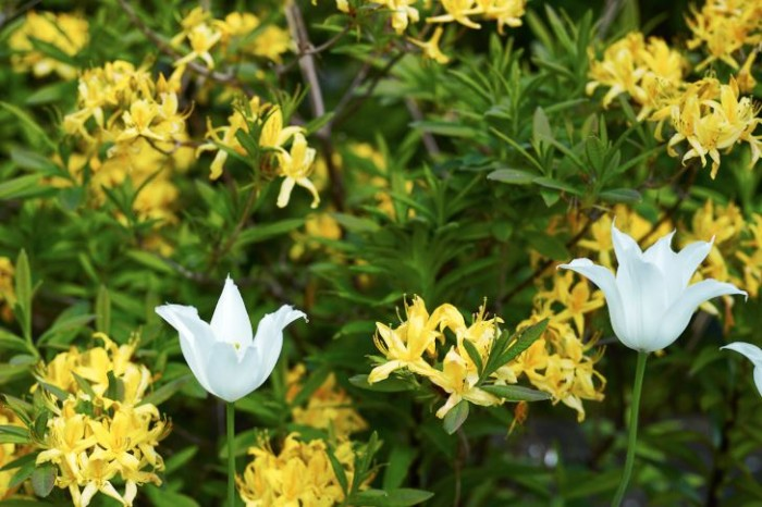 Upp i guldazalean sticker vita liljetulpaner upp.