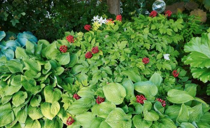 Den amerikanska trolldruvans, Actaea rubra, blankröda bär gör sig bra tillsammans med daggfunkior, Hosta sieboldiana 'Elegans'. En glaskula som hänger från en trädgren ovanför förstärker sagostämningen. Trolldruvan är en härdig perenn som trivs i fuktiga woodland-miljöer. Dock är de vackra bären är giftiga.