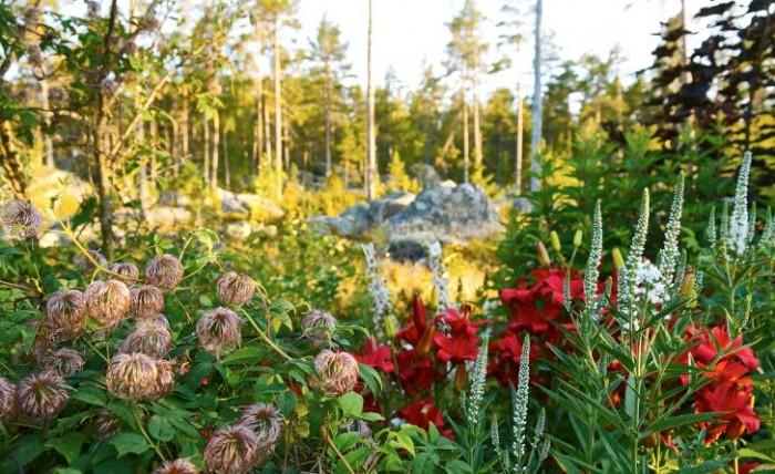 De röda färgstarka liljorna fick en annan färg än Maud egentligen ville. Tillsammans med vit kransveronika, Veronicastrum virginicum, och utblommad klematis skapas en vacker komposition i trädgårdens utkant.
