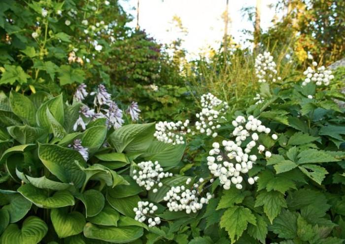 Vit trolldruva, Actaea pachypoda, och daggfunkia, Hosta sieboldiana 'Elegans', med bleklila blommor på stolta stänglar ger ett lugnt och behagfullt intryck. Båda trivs i fuktigt och halvskuggigt läge.