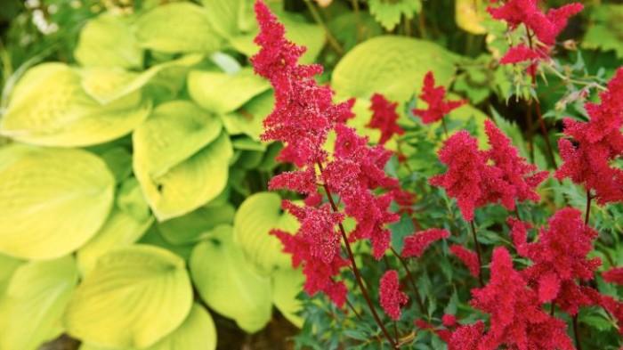 Blodröd astillbe av okänd sort mot limefärgad funkia, Hosta 'August Moon', ger uppiggande kontrast i färg och form.