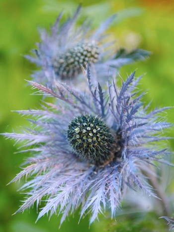 Alpmartorn, Eryngium alpinum, är uppseendeväckande i sin taggiga skönhet. Blir 50–80 cm hög och trivs torrt, magert och soligt där den blågrå färgen blir mer framträdande. Vill stå soligt.