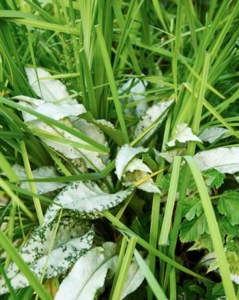 Den långbladiga lungörten, Pulmonaria longifolia 'Bertram Anderson', får attraktiva nästan vita blad. Gillar ett halvskuggigt och fuktigt läge precis som strandirisen, Iris sibirica, som den här sällskapar med.