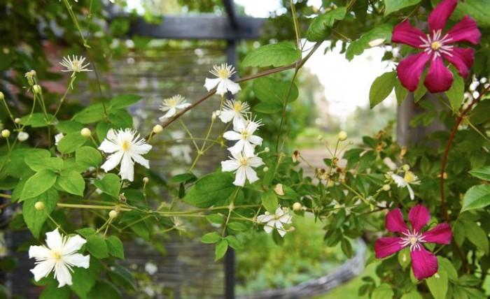 Rankor av den småblommiga vitalba-klematisen 'Paul Farges', ofta saluförd under namnet Summer Snow, möter den vinröda viticella-klematisen 'Madame Julia Correvon'. En skärande vacker förening skapad av naturen själv.