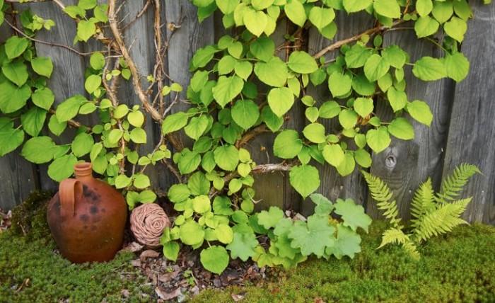 Klätterhortensia, Hydrangea anomala ssp. petiolaris, självsådd jättedaggkåpa, ormbunke och mossa bildar tillsammans med ett par keramikföremål ett pittoreskt blickfång invid förrådsväggen.