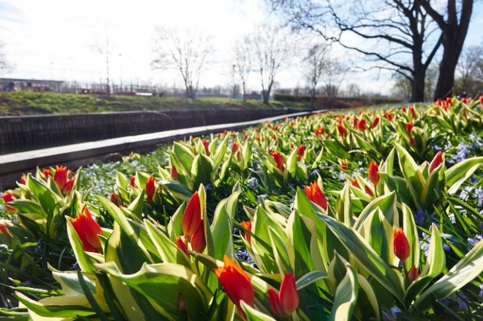 Anemontulpan, Tulipa praestans 'Unicum' invid Enköpingsån