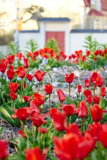 Röda tulpaner mot röd grind i Drömparken