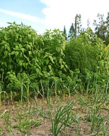 När man odlar i sand täckt av gräsklipp förmultnar gräset snabbt och bildar ett mulllager. I främre delen vanlig lök och längst bak jordsärtskocka och sparris.