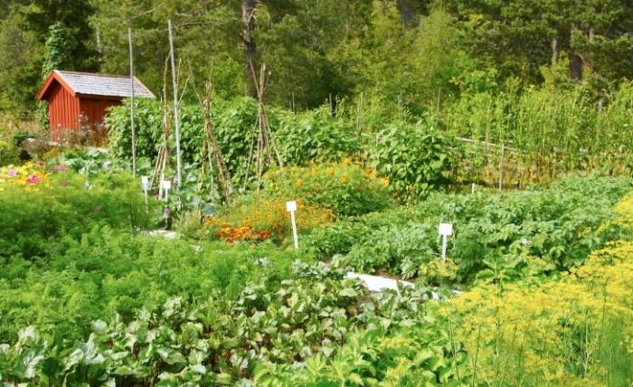 Frodigt när man odlar i sand. Några av de tacksamma sorter som trädgårdsföreningen valde för odling 2007 var: dillsorterna 'Mammut' och 'Pikant, palsternackan 'White Gem', rödbetorna 'Rubia' och Kosak' och morötterna 'Kämpe' och 'Nestor'.