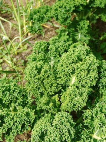 Grönkål trivs och frodas när den odlas med den här metoden . Nyttig grönsak för soppor och stuvningar.