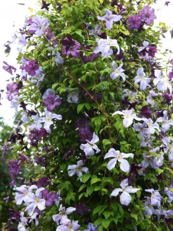 Viticellaklematis 'Emilia Plater' och Black Prince' samt och den sena storblommiga 'Kaaru'
