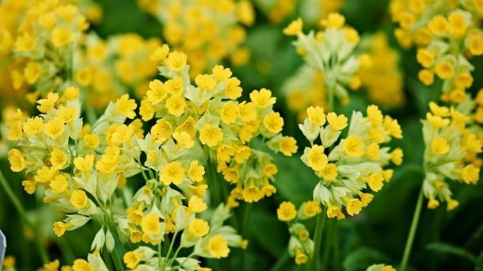 Stor gullviva, Primula veris ssp. macrocalyx