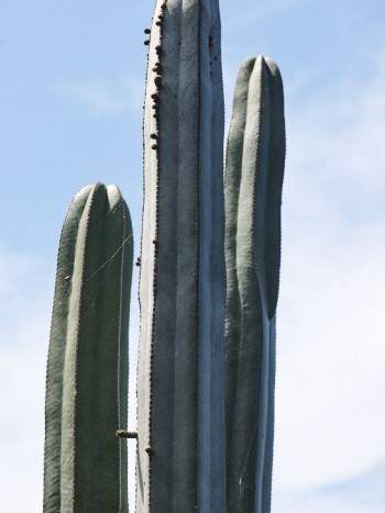 Kantpelarkaktus, Pachycereus marginatus