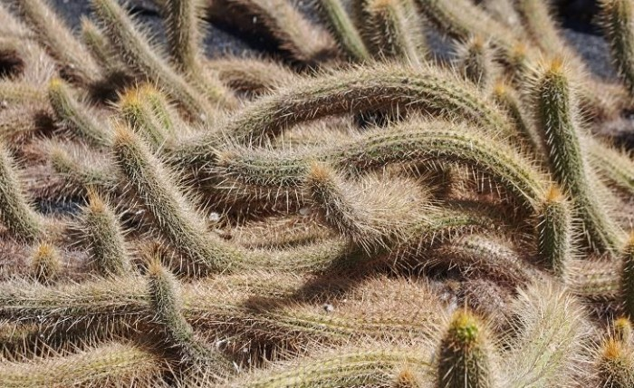 Gles busksjöborrekaktus, Echinopsis camarguensis