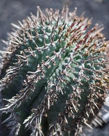 Spikeuforbia, Euphorbia horrida