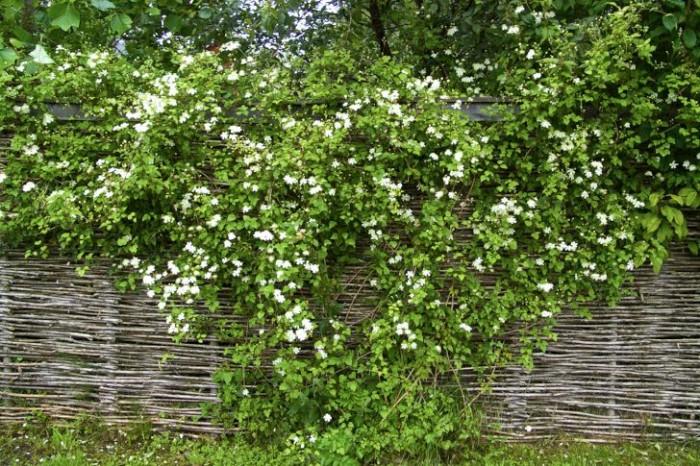 Mångas favorit är vitalbaklematisen 'Paul Farges', mer känd under namnet 'Summer Snow'. Blommar nästan direkt den kommit i jorden, och fortsätter med det säsong efter säsong. Växa hinner den också med, konstigt nog. Ungefär zon 5. Här i ett pilstängsel hemma hos familjen Stavåsen i Halland.