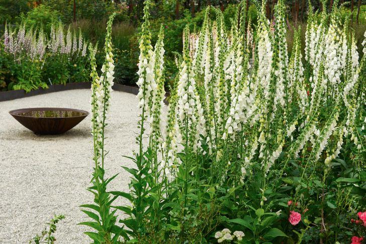 Det är inte bara rosor i Rosträdgården utan där ståtar också granna fingerborgsblommor med höga spiror.
