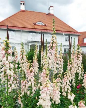 Framför Trädgårdens hus vid Rosträdgården ståtar fingerborgsblommorna med sina spiror strävande mot himlavalvet.