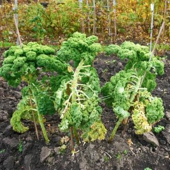 En trevlig egenskap hos grönkål är att man kan lämna kvar dem i grönsakslandet över höst och vinter och ta in när man behöver. Inte bara praktiskt utan också snyggt.