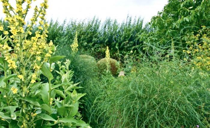 Sparris passar utmärkt i rabatter, inte minst tillsammans med andra ståtliga växter som det tvååriga jättekungsljuset, till vänster.