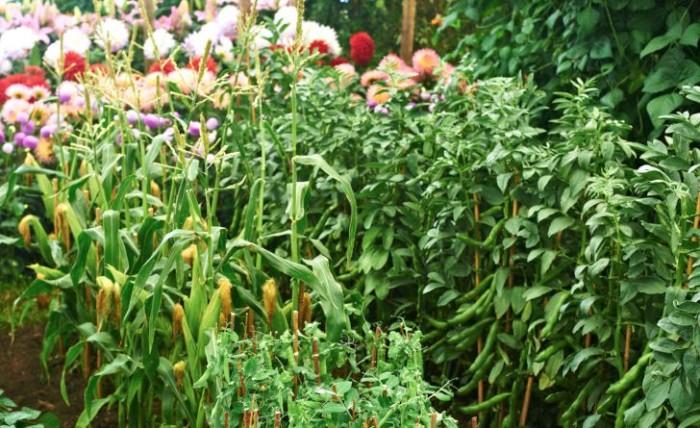 Det är vackert med grönsaker. Till höger har bondbönorna svällt upp ordentligt, i centrum ärtor, bakom majs.