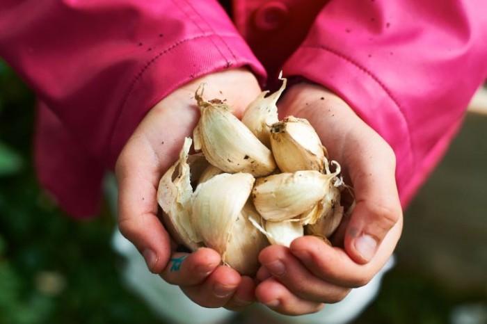När man planterar bryter man upp vitlökarna i klyftor som sedan petas ner runt en halv decimeter i jorden.