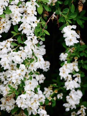 Liten pärlbuske, Exochorda 'The Bride'