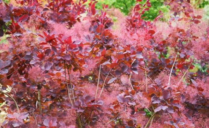 Perukbuske, Cotinus coggygria × obovatus 'Grace'