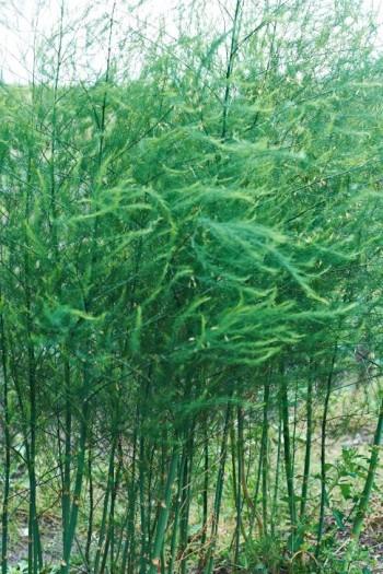 En vanlig sparrissort i Sverige är 'Mary Washington'. På bilden, från mitten av juli, har den hunnit växa till sig efter försommarens skördar.