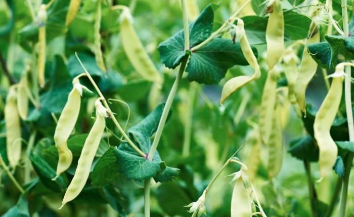 Det finns även ljusa sockerärtor att odla, som den högväxta sorten 'Golden Sweet'.