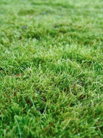Visst finns det fördelar med mossa i gräsmattan, inte minst gröna vintrar. Se så grönt och fint det är en januaridag i Mälardalen.