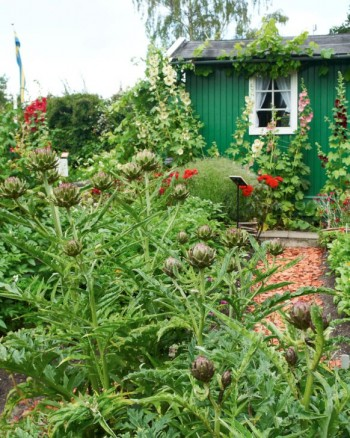 I grönsaksland och koloniträdgårdar är kronärtskocka rena lyftet, tjusiga som få andra.