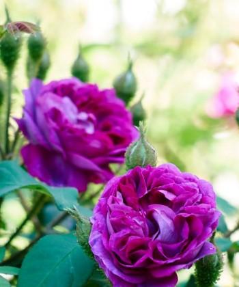 Mossrosen 'William Lobb', en av alla rosenskönheter i Wij trädgårdar