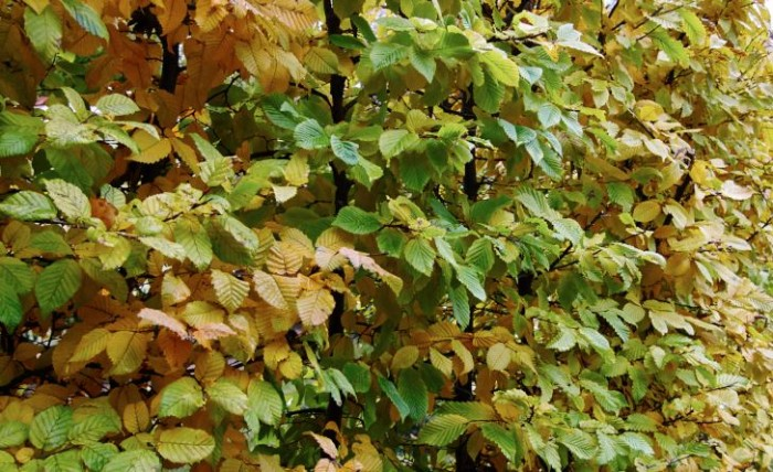 Avenbok, Carpinus betulus