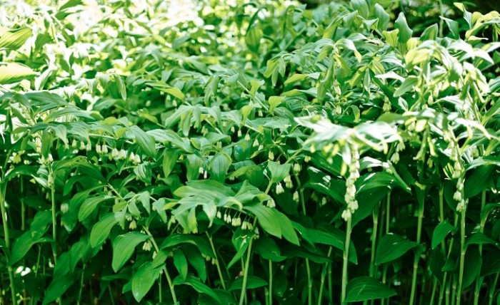 Jätterams, Polygonatum × hybridum