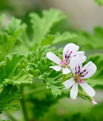 Doftpelargonen Dr. Westerlund (Rosengeranium, Pelargonium 'Graveolens') här för en gångs skull i blom.