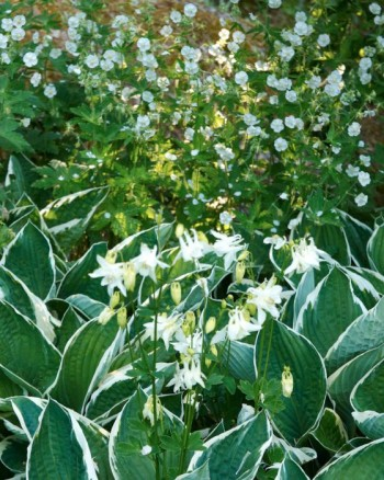 Vitblommande brunnäva, Geranium phaeum 'Album', tillsammans med blomsterfunkia, Hosta fortunei, 'Francee' och vanlig vitblommande akleja, Aquilegia vulgaris.