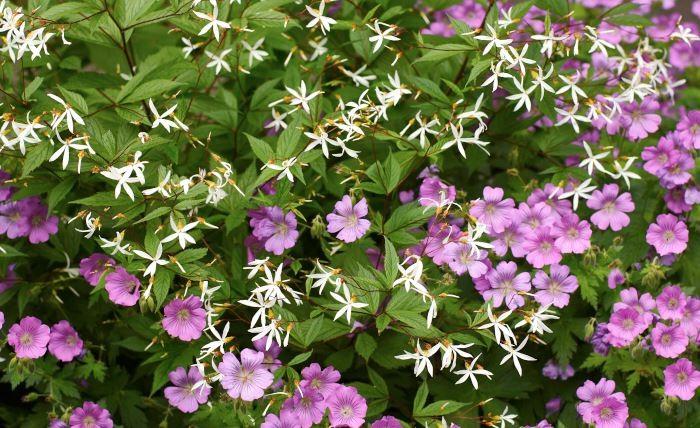 Den rikblommande lilarosa nävahybriden, Geranium, 'Sirak' tillsammans med trebladspira, Gillenia trifoliata, blir som en romantisk brudbukett i rabatten i månadsskiftet juni-juli. Det här är en kombination som passar i lätt skugga till halvskugga (nävan trivs bra också i full sol).