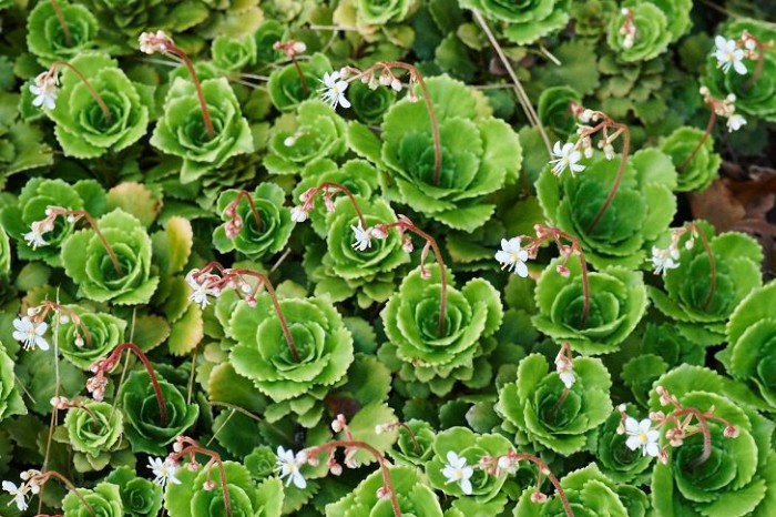 Slöjbräcka, Saxifraga cuneifolia