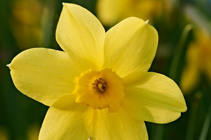 Jonkvill, Narcissus jonquilla