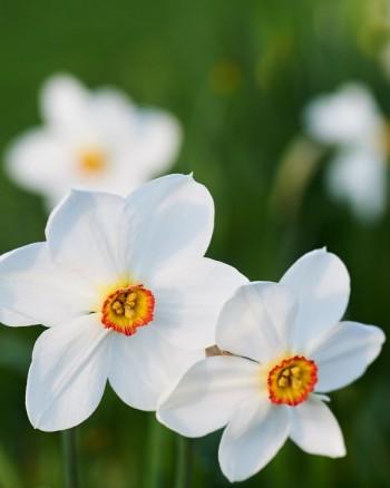 Pingstlilja, Narcissus poeticus 'Actaea'
