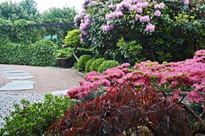 En så vacker infart är få förunnat, den sprakar i form och färg. I förgrunden en flikbladig japansk lönn, 'Garnet', följt av en japansk azalea, 'Kermesinum', med en parkrododendron i bakgrunden.