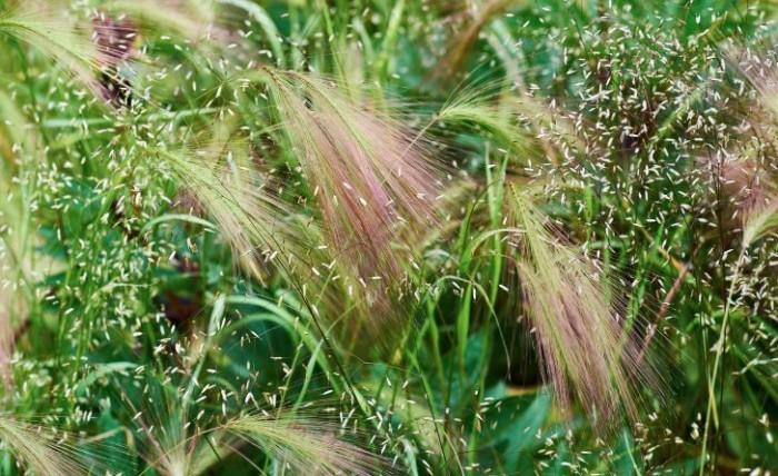 Kruståtel, Deschampsia flexuosa, med prickiga slöjor tillsammans med hängande ax av ekorrkorn, Hordeum jubatum, i rabatterna framför huset. Båda finns vilda i Norden. Den förstnämnda är en perenn inhemsk växt, den andra en ettåring med amerikanskt ursprung som sprider sig med frö nästan för vildsint. Utsökt kombination.