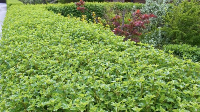 Måbär, Ribes alpinum 'Schmidt'