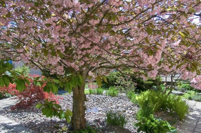Under taket av det överdådigt blommande praktkörbärsträdet, Prunus Sato Zakura-gruppen 'Kanzan', i Hågelbyparken strax söder om Stockholm har skuggtåliga perenner som praktbetonika och strutbräken planterats mellan kullerstenarna. Till vänster syns en rödbladig japansk lönn vars grenverk sträcker sig ut mot den lilla gången som löper runt den fyrkantiga planteringen. De alternerande solbelysta och skuggiga områdena, som skapas av praktkörbärsträdets krona, gör området mer livfullt och intressant.