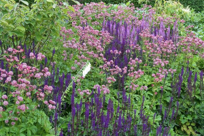 I den här rabatten, som landskapsarkitekten Ulf Nordfjell designat i Ingrid Björkmans trädgård, repeteras de ingående växterna i grupper som omärkligt flyter in i varandra. Den rödrosa stjärnflockan kontrasterar effekfullt mot stäppsalviornas eleganta spiror samtidigt som den tar upp färgen hos den rosa stäppsalvian, Salvia nemorosa 'Amethyst', som syns en bit bak i rabatten. I förgrunden ses den mörkt blålila stäppsalvian, Salvia nemorosa 'Caradonna', som har iögonfallande mörka stjälkar. Ett olydigt färgavbrott i form av en vit fingerborgsblomma ger extra dramatik åt kompositionen.