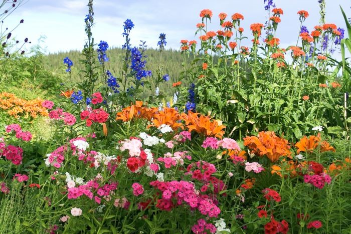 Ettårsväxter kan med fördel användas för att fylla ut tomrummen i perennrabatten. Sommarflox, Phlox drummondi, är en tacksam utplanteringsväxt som här syns breda ut sig i förgrunden av Gunborg Orrmalms färgstarka rabatt i odlingszon 8. Bakom växer fleråriga riddarsporrar, studentnejlikor och liljor.