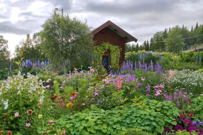 Hemma hos Gunborg Orrmalm i Poultikasvaara, zon 8, frodas perennerna och kommer igen år från år trots de hårda och långa vintrarna (motsatt sida). Hemligheten är väl valda härdiga växter som klarar det tuffa klimatet samt väldränerade odlingsbäddar som underlättar övervintringen.